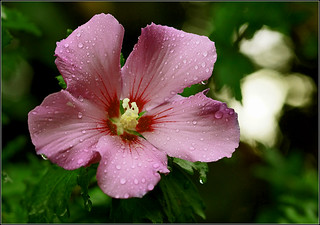 Rose of Sharon - Hibiscus syriacus | by Everest Daniel