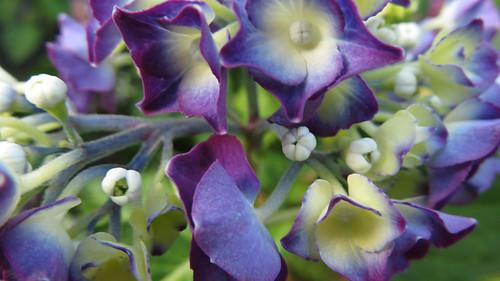 Blue & purple Hydrangea flowers
