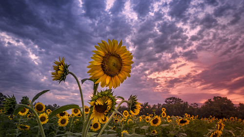 dusk mckeebeshers summer vibrant bloom dramaticsky green maryland nature poolesville sunflowerfield sunset yellow clouds landscape outdoor sunflowers raindrops
