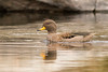 Pato Barcino - Anas flavirostris - Yellow-billed Teal by Jorge Schlemmer