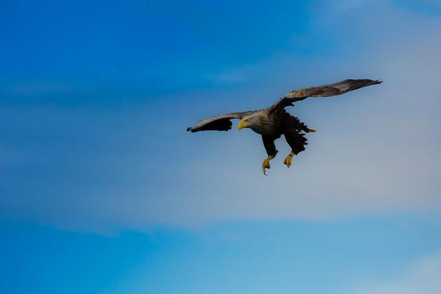 Sea Eagle swooping
