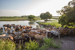Cows at the Watering Hole, Magdalena River Colombia