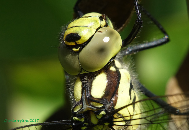 Southern Hawker - close-up