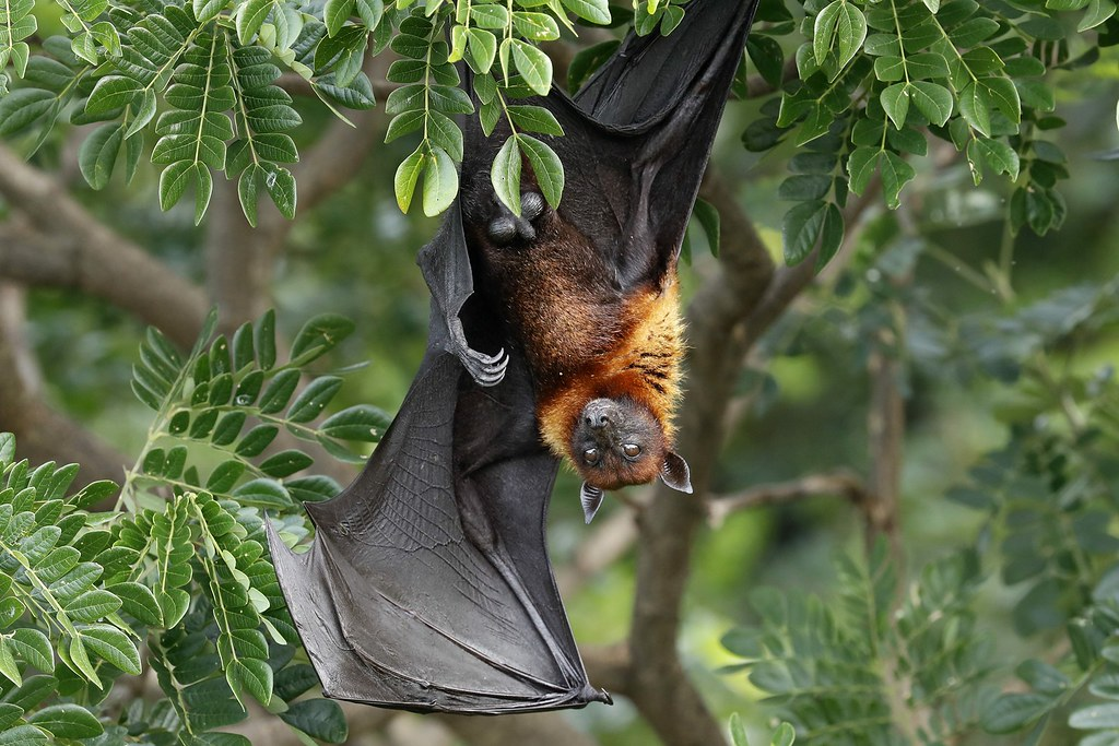 _YT_0487_Lyle's flying fox