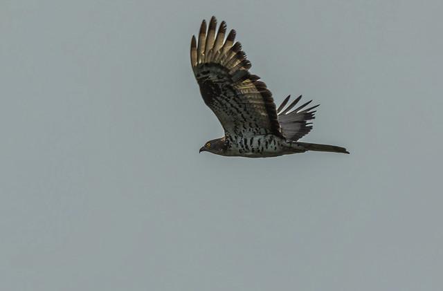 European honey buzzard - Sršenar