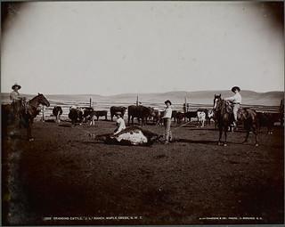 """Four cowboys brand cattle at the """"J.L."""" Ranch, Maple Creek, Saskatchewan  / Quatre cowboys marquent le bétail au fer rouge au ranch J. L., Maple Creek (Saskatchewan )"""