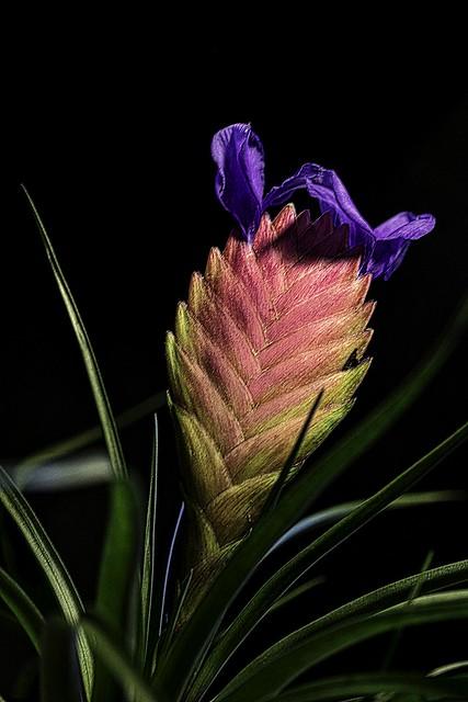 Pink quill - Tillandsia raquette (Tillandsia cyanea)