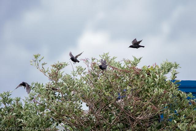 Starlings on elder.