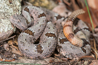 Banded Rock Rattlesnake | by Jeremy Wright Photography