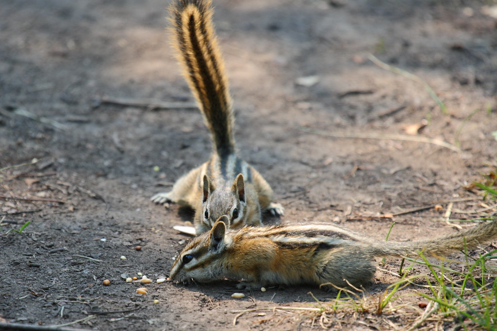 Least Chipmunk Neotamias Minimus Janet Hill Flickr