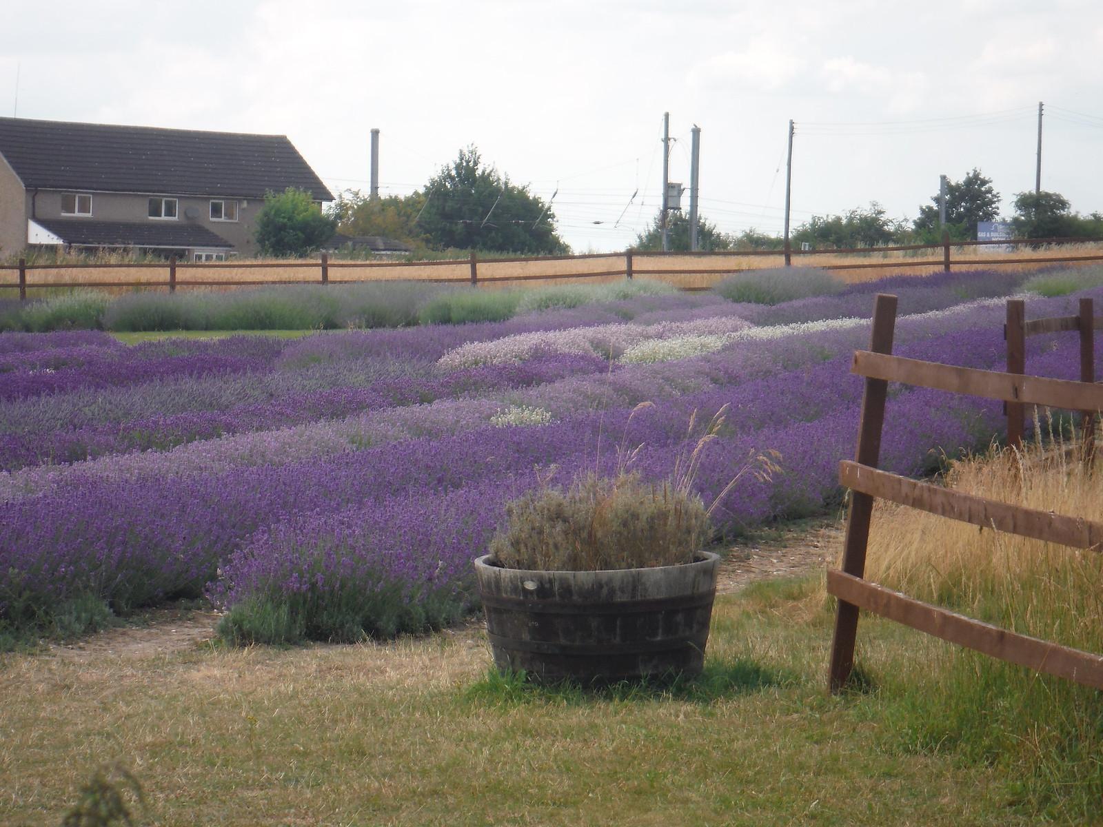 Nursery Field, Hitchin Lavender (Cadwell Farm) SWC Walk 233 - Arlesey to Letchworth Garden City