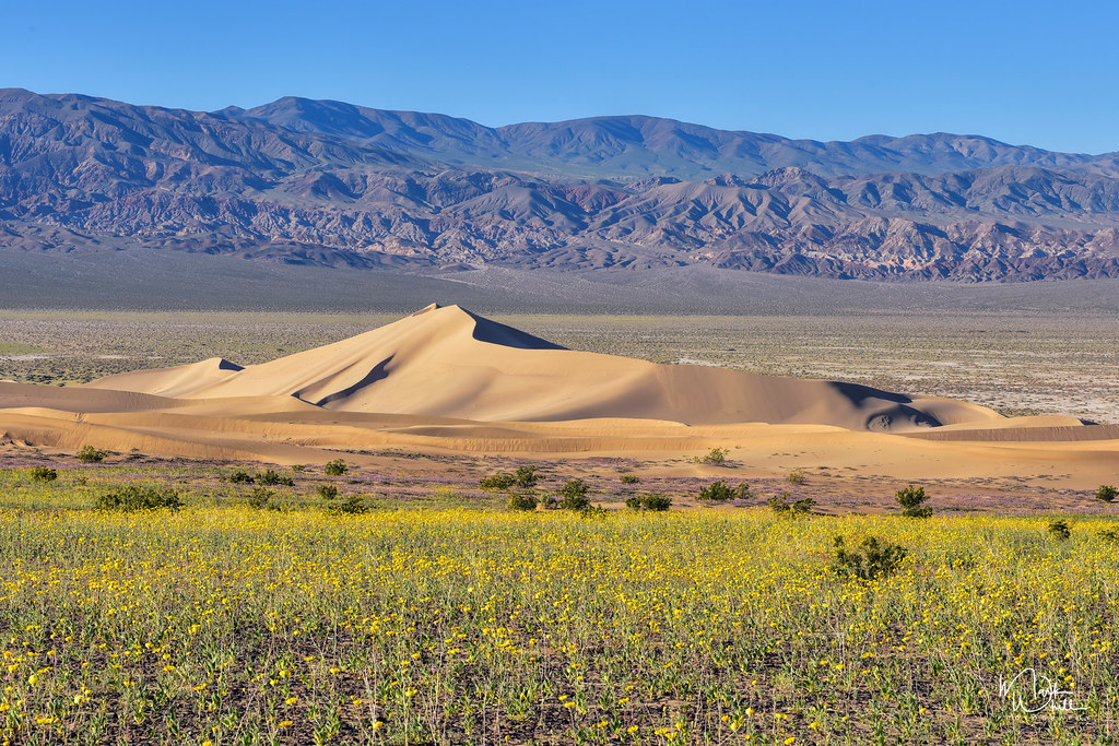 Spring Comes To Dunes >> Ibex Dunes Spring Flowers Ibex Sand Dunes In Death Valley Flickr