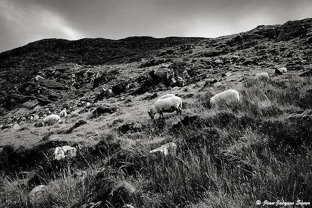 0567 - Moutons du Knocklomena, Irlande, 1976