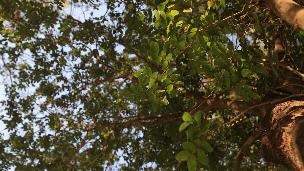 copaifera langsdorffii