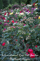 International Rose Test Garden Postcard