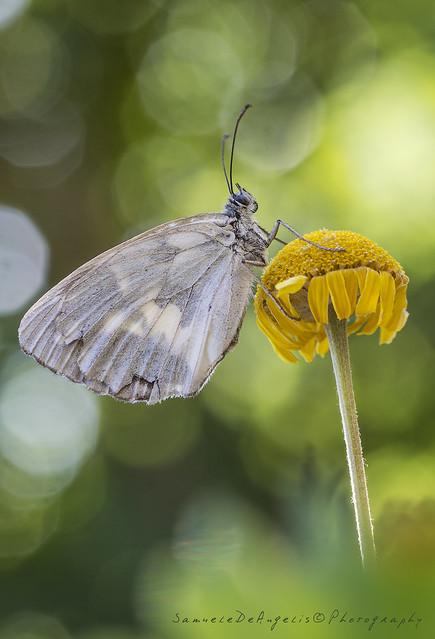 Melanargia galathea (un pò malandata)