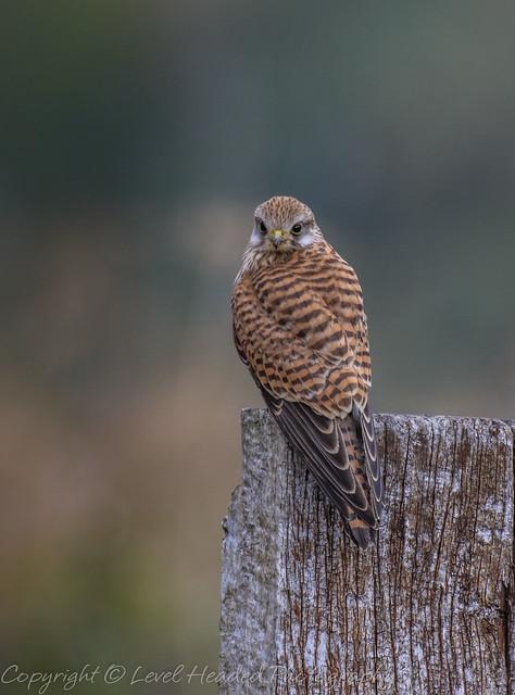 Kestrel - (Falco tinnunculus) Best viewed large