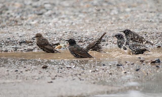 Starlings bathing.