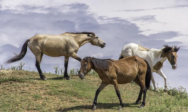 Colonial Spanish Horse (Spanish Mustang)