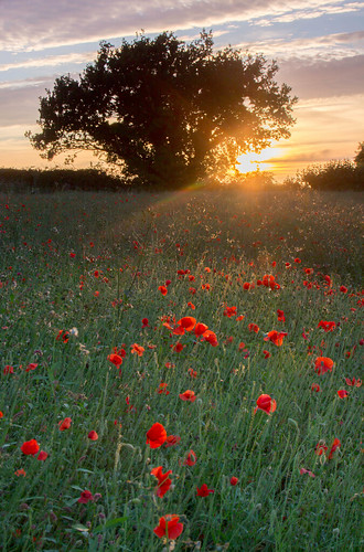 shepshed leicestershire poppies backlighting sunset sundown dusk field east midlands england uk europe flora rural tree landscape countryside canon dslr 600 julian barker