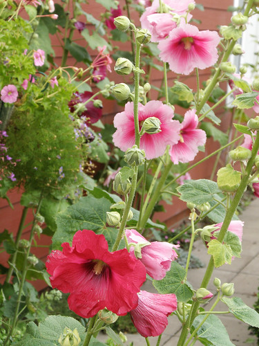 Hollyhocks | by amandabhslater