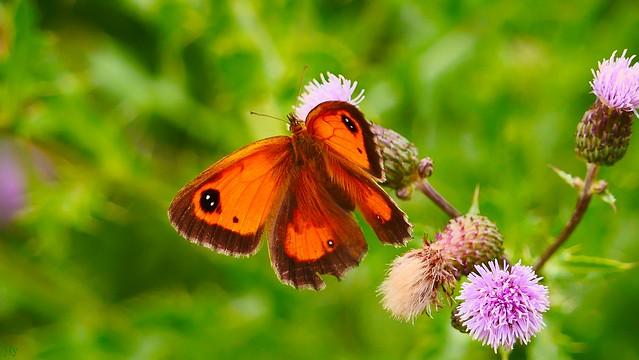 Butterfly orange - 3349