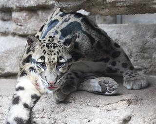 Clouded leopard 107