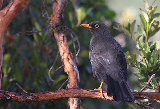 Great Thrush | by Wade Strickland