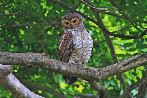 IMG_0145 Spotted Wood Owl
