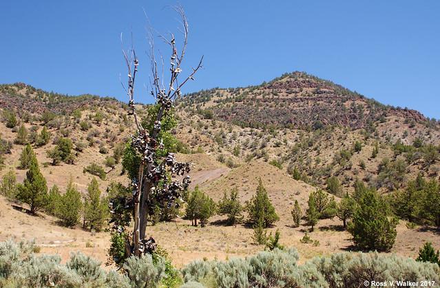 Oregon Shoe Tree