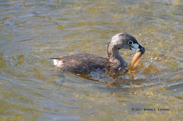 Pied-billed Grebe with tadpole