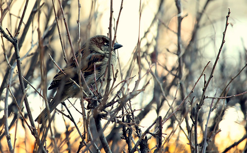 montreal nature fauna bird sparrow patience waiting canon light t5i dof bokeh animal sunset 700d 250mm akigabo 7dwf