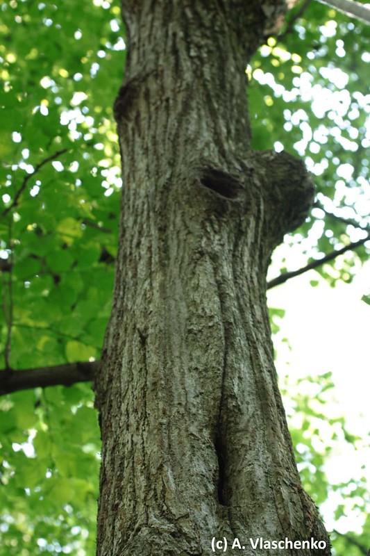 Внизу щелевидное дупло, вверху старое дупло дятла, в стволе липы