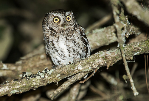 Bearded Screech-Owl | by nickathanas