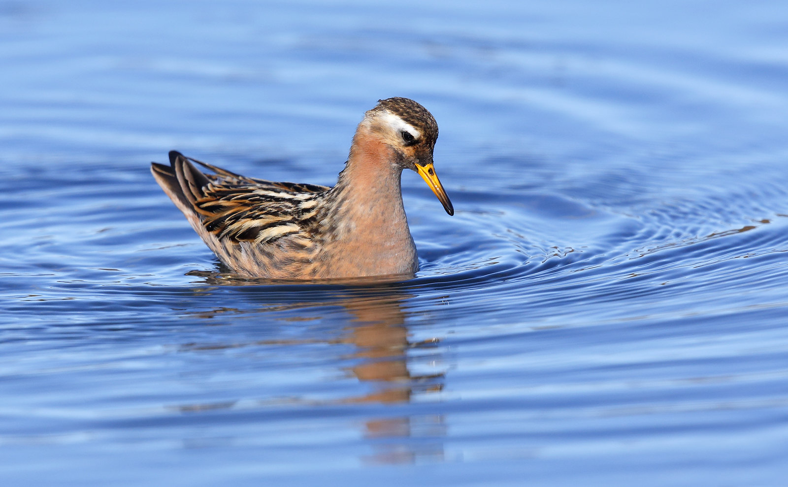 Grey Phalarope [male]