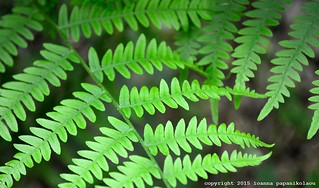 fern leaves close-up by ioanna papanikolaou DSC_0044_2114 S | by joanna papanikolaou