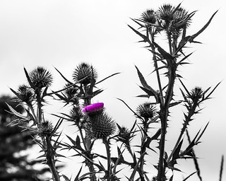 Thistle | by Me in ME