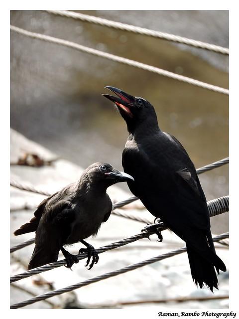 Crow Little Ones