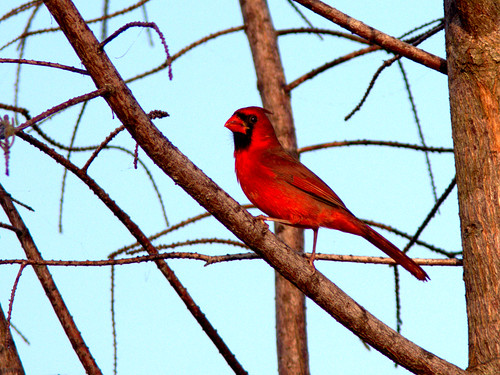 Northern Cardinal male 2-20170206