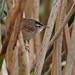 Flickr photo 'Marsh Wren (Cistothorus palustris)' by: Mary Keim.