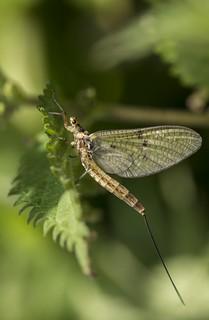 Green Drake Mayfly - Ephemera danica (4)