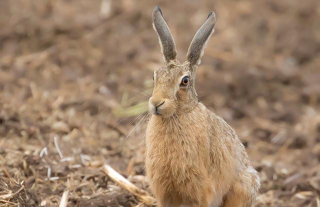 Brown Hare Pose (Lepus europaeus)