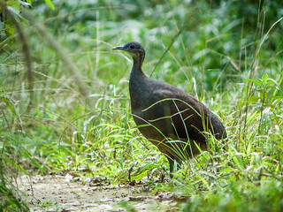 Solitary Tinamou | by nickathanas