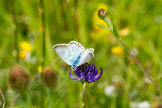 Chalkhill Blue on rampion 5.jpg