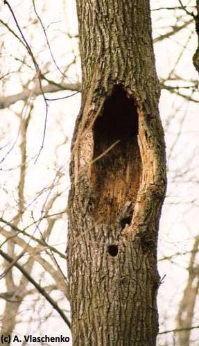 Дупла в дубе, большое сверху на месте выпавшего трутовика, внизу маленькое - старое дупло дятла