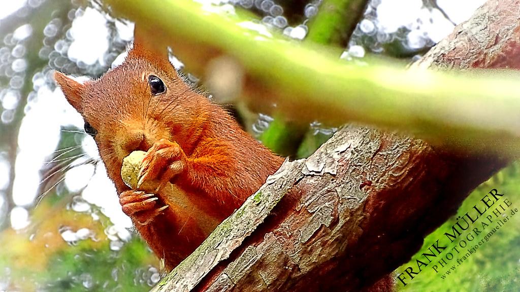 squirrel on a treeeichhörnchen auf baum  squirrel on a