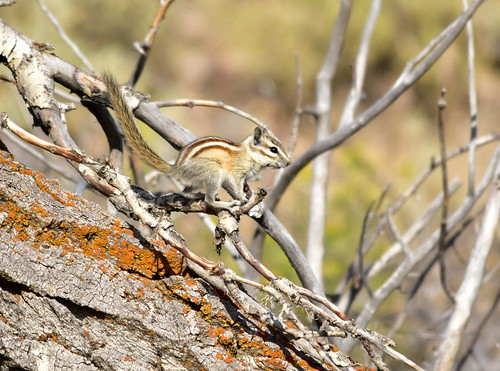 Least chipmunk on Seedskadee National Wildlife Refuge | by USFWS Mountain Prairie