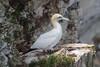 Gannet (Morus bassanus) by markkilner