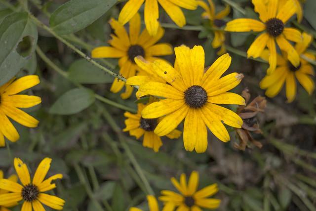 Rudbeckia hirta, Edgar Evins State Park, Dekalb County, Tennessee