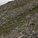 Bighorn Sheep at Piegan Pass